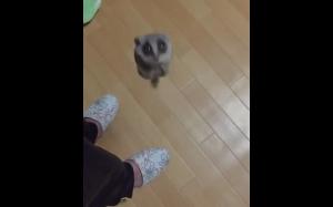 Lemur jak rakieta