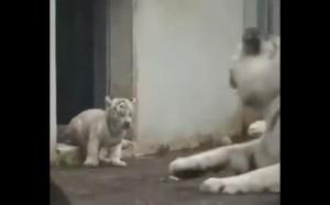 Mały tygrys straszy mamę