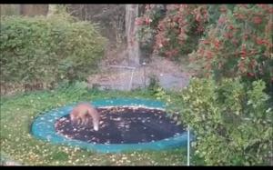 Lis znalazł trampolinę w ogrodzie