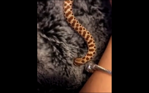 Ten wąż uwielbia futro