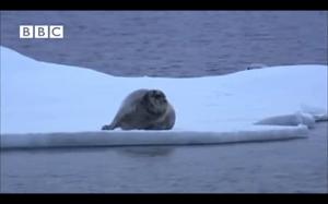Ninja polar bear
