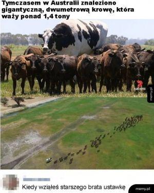 Gigantyczna krowa