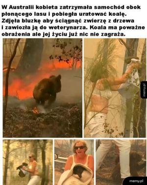 Uratowała koalę