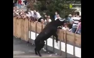Co może się zdarzyć kiedy drażnisz byka?