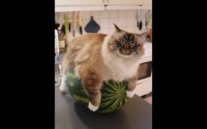 Koteł wysiaduje melona