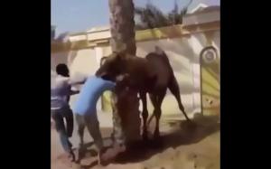 Kiedy próbujesz przywiązać wielbłąda