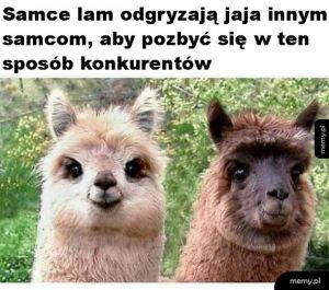 Ciekawostka o lamach