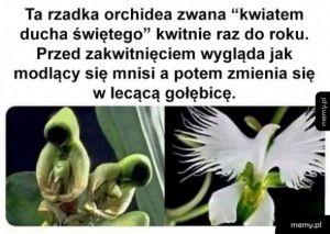 Kwiat ducha świętego