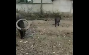 Krowa z jednym rogiem