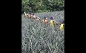 Zbieranie ananasów