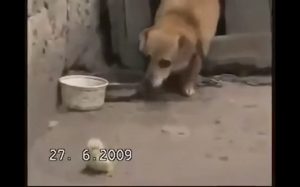 Ukradł kurczaka