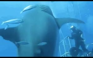 Największy biały rekin uchwycony na kamerze