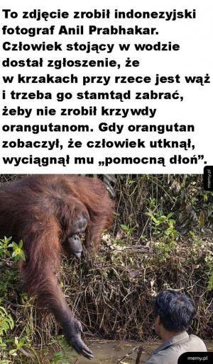 Pomocny orangutan