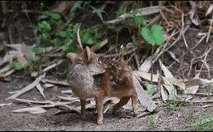 Najmniejszy jeleń świata