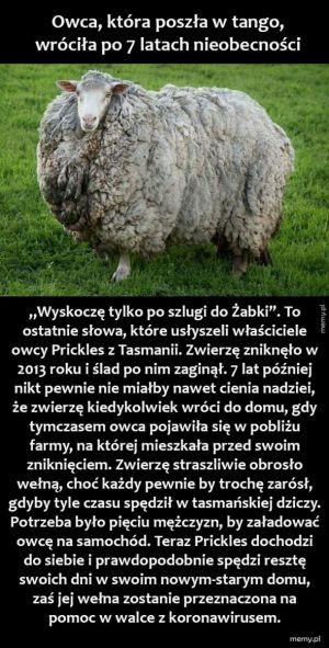 Owca podróżniczka