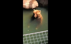Niedźwiedzie robiące bańki