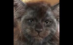 Kot o ludzkiej twarzy