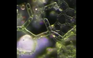 Mikroskopijny niesporaczek