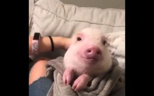 Zadowolona świnka