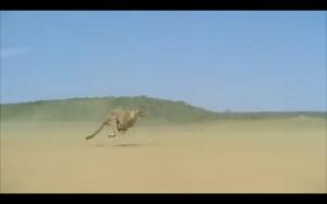 Gepard przyśpiesza do 100km/h