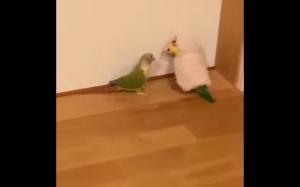 Papuga w przebraniu