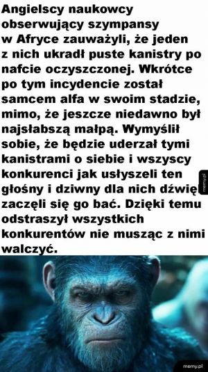 Cwany szympans