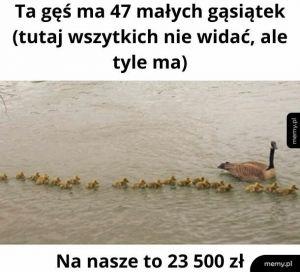Gąsiątka/500plus
