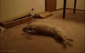 Pieseł biegnie we śnie