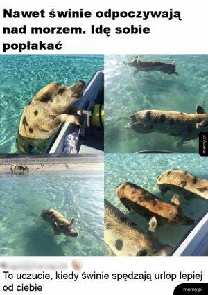 Urlop świnek