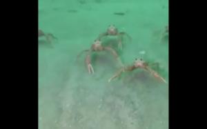 Ciekawskie kraby