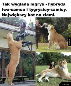 Duży kot