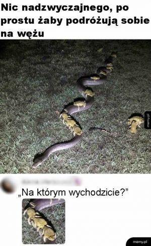 Szalone żaby