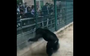 Bardzo zły szympans