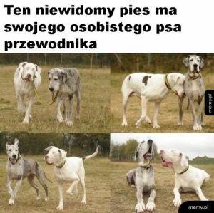 Pies przewodnik dla niewidomego psa