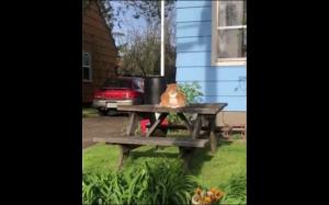 Największy kot świata