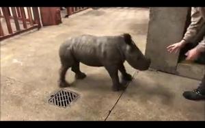 Wesoły nosorożec
