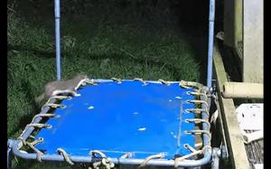 Łasica na trampolinie