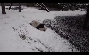 Panda i śnieg
