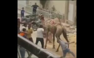 Nie zadzieraj z wielbłądem