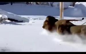 Lwy bawiące się na śniegu