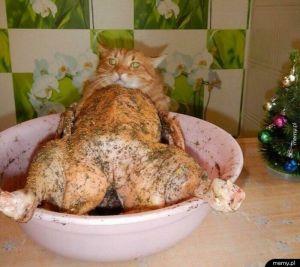 Koteł czy kurczak?