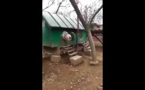 Kurczak gigant