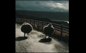 Bouncy sheep