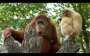 Orangutan zafascynowany gibonem