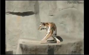 Tygrys przestraszył się ptaka