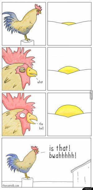 Koguty każdego ranka