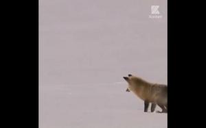 Niektórzy twierdzą, że lisy tak polują