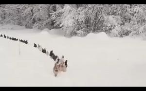 Kury maszerują gęsiego