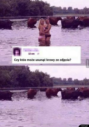 Czy ktoś może usunąć te krowy?