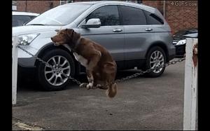 Pies akrobta